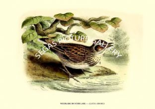 WOODLARK OR WOOD LARK ---- ALAUDA ARBOREA